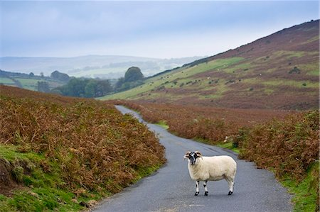ram (animal) - Blackfaced sheep in a country lane, Dartmoor, Devon,  United Kingdom Stock Photo - Rights-Managed, Code: 841-07457291