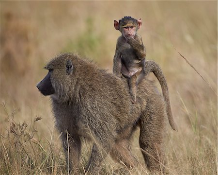 serengeti national park - Olive baboon (Papio cynocephalus anubis) infant riding on its mother's back, Serengeti National Park, Tanzania, East Africa, Africa Stock Photo - Rights-Managed, Code: 841-07457423