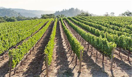 Rows of lush vineyards on a hillside, Napa Valley, California, United States of America, North America Stock Photo - Rights-Managed, Code: 841-07524025