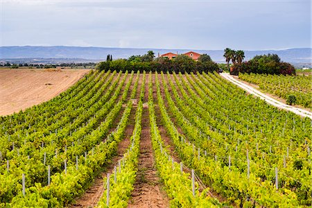 Vineyard at a winery near Noto, South East Sicily, Italy, Europe Stock Photo - Rights-Managed, Code: 841-07523241