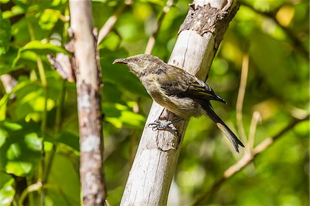 Adult bellbird (Anthornis melanura melanura) on Ulva Island, off Stewart Island, South Island, New Zealand, Pacific Stock Photo - Rights-Managed, Code: 841-07523293