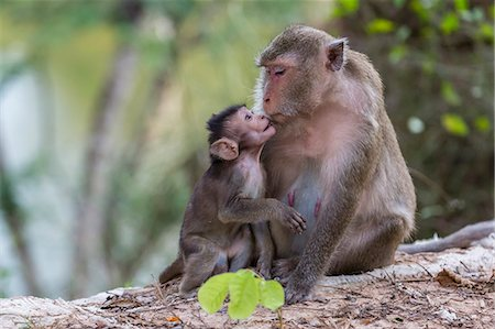 Young long-tailed macaque (Macaca fascicularis) nuzzling its mother in Angkor Thom, Siem Reap, Cambodia, Indochina, Southeast Asia, Asia Stock Photo - Rights-Managed, Code: 841-07523340