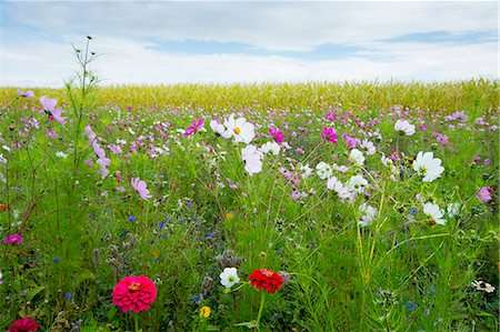 Wildflower border by maize crop in a field in rural Normandy, France Stock Photo - Rights-Managed, Code: 841-07523743