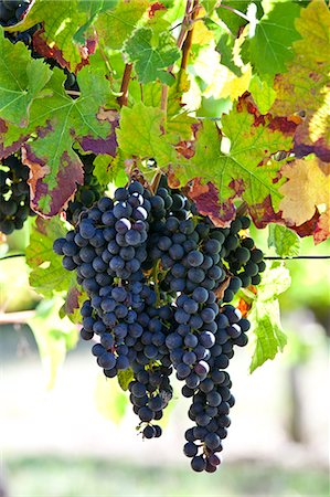 Ripe Merlot grapes on an ancient vine at Chateau Fontcaille Bellevue, in Bordeaux region of France Stock Photo - Rights-Managed, Code: 841-07523801