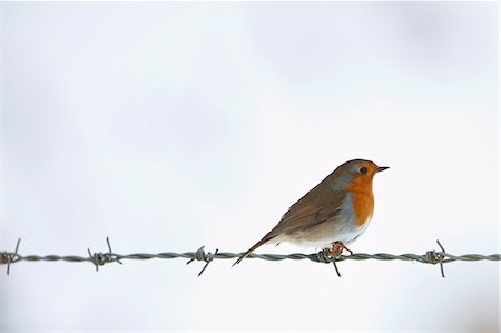 Robin on barbed wire by snowy hillside in The Cotswolds, UK Stock Photo - Rights-Managed, Code: 841-07540397