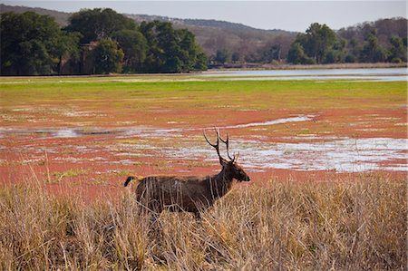Indian Sambar, Rusa unicolor, male deer in Rajbagh Lake in Ranthambhore National Park, Rajasthan, India Stock Photo - Rights-Managed, Code: 841-07540425