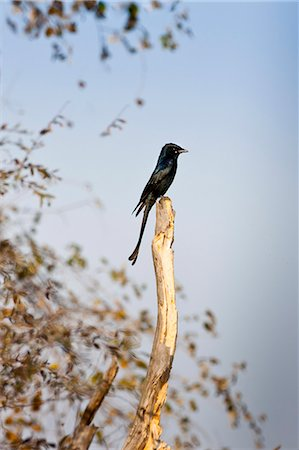 Black Drongo, Dicrurus macrocercus, bird in Ranthambhore National Park, Rajasthan, Northern India Stock Photo - Rights-Managed, Code: 841-07540429
