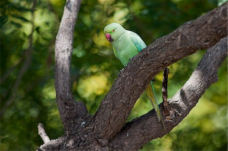 Indian Rose-Ringed Parakeet, Psittacula krameri, on tree branch in village of Nimaj, Rajasthan, Northern India Stock Photo - Rights-Managed, Code: 841-07540458