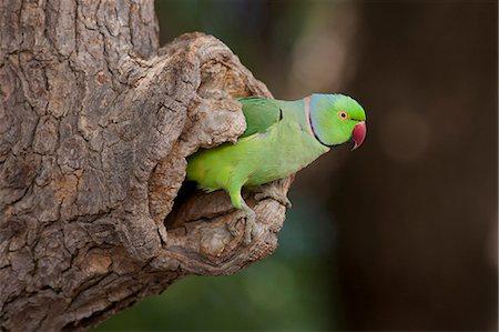 Indian Rose-Ringed Parakeet, Psittacula krameri, in tree hole in village of Nimaj, Rajasthan, Northern India Stock Photo - Rights-Managed, Code: 841-07540459