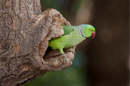 Indian Rose-Ringed Parakeet, Psittacula krameri, in tree hole in village of Nimaj, Rajasthan, Northern India Stock Photo - Rights-Managed, Code: 841-07540459