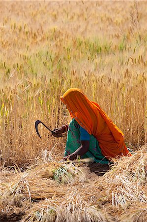 farmhand (female) - Barley crop being harvested by local agricultural workers in fields at Nimaj, Rajasthan, Northern India Stock Photo - Rights-Managed, Code: 841-07540452