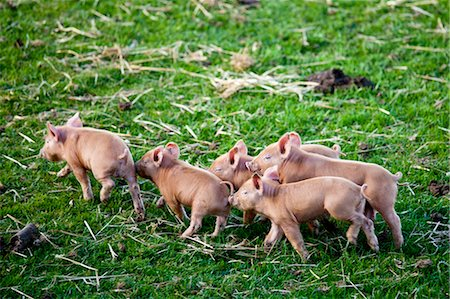 five animals - Tamworth piglets at the Cotswold Farm Park at Guiting Power in the Cotswolds, Gloucestershire, UK Stock Photo - Rights-Managed, Code: 841-07540547