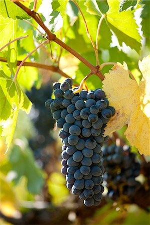 season - Sangiovese Chianti Classico grapes ripe for picking at Pontignano in Chianti region of Tuscany, Italy Stock Photo - Rights-Managed, Code: 841-07540580