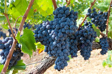 Ripe Brunello grapes, Sangiovese, growing on vine at wine estate in region of Montalcino in Val D'Orcia, Tuscany, Italy Stock Photo - Rights-Managed, Code: 841-07540625