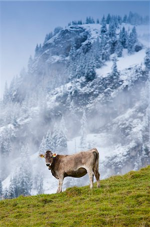 Traditional alpine cattle in the Bavarian Alps, Germany Stock Photo - Rights-Managed, Code: 841-07540660