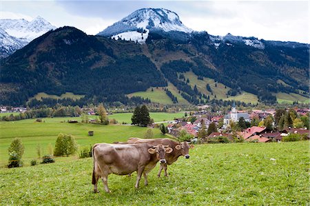 Traditional alpine cattle in the Bavarian Alps, Germany Stock Photo - Rights-Managed, Code: 841-07540662