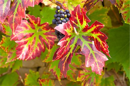 Ripe grapes on a grapevine on stone wall in country garden at Swinbrook in The Cotswolds, Oxfordshire, UK Stock Photo - Rights-Managed, Code: 841-07540677