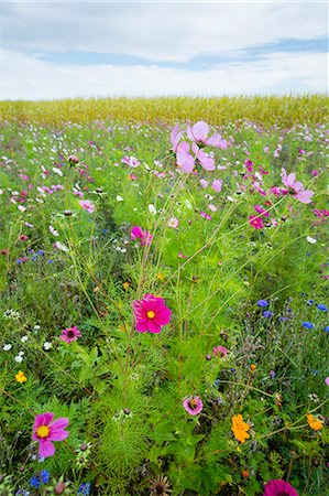 flowers - Wildflower border by maize crop in a field in rural Normandy, France Stock Photo - Rights-Managed, Code: 841-07540731