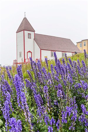 Monkshood (aconitum) flowers in front of the church in the small preserved fishing village of Battle Harbour, Labrador, Canada, North America Stock Photo - Rights-Managed, Code: 841-07589832