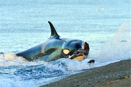 Orca (Orcinus Orca) hunting South American sea lion (Otaria flavescens), Peninsula Valdes, Patagonia, Argentina, South Atlantic, South America Stock Photo - Rights-Managed, Code: 841-07589959