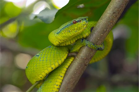 poison - Wagler's pit viper (Tropidolaemus wagleri) a venomous green pit viper found throughout Southeast Asia, Sarawak, Borneo, Malaysia, Southeast Asia, Asia Stock Photo - Rights-Managed, Code: 841-07589987