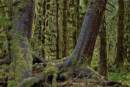 forest - Moss-covered tree trunks in the rainforest, Olympic National Park, UNESCO World Heritage Site, Washington, United States of America, North America Stock Photo - Rights-Managed, Code: 841-07600207