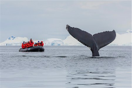 Humpback whale (Megaptera novaeangliae), flukes-up dive near whale watchers in the Enterprise Islands, Antarctica, Polar Regions Stock Photo - Rights-Managed, Code: 841-07653051
