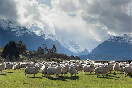 Sheep and mountains near Glenorchy, Queenstown, South Island, New Zealand, Pacific Stock Photo - Rights-Managed, Code: 841-07653166