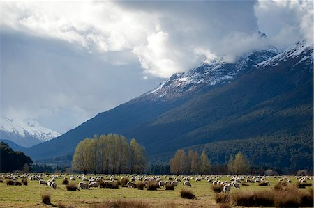 Sheep in Dart River Valley, Glenorchy, Queenstown, South Island, New Zealand, Pacific Stock Photo - Rights-Managed, Code: 841-07653168