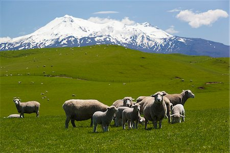 Sheep grazing beneath Mount Ruapehu, Tongariro National Park, UNESCO World Heritage Site, North Island, New Zealand, Pacific Stock Photo - Rights-Managed, Code: 841-07653520