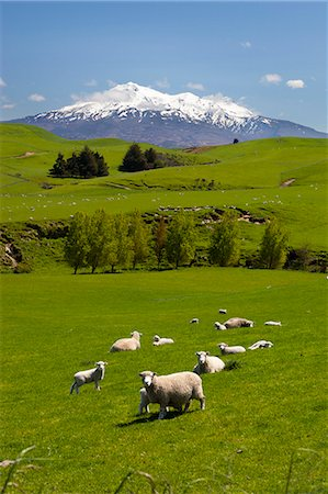 Sheep grazing beneath Mount Ruapehu, Tongariro National Park, UNESCO World Heritage Site, North Island, New Zealand, Pacific Stock Photo - Rights-Managed, Code: 841-07653521