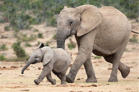 African elephant (Loxodonta africana) and calf, running to water, Addo Elephant National Park, South Africa, Africa Stock Photo - Rights-Managed, Code: 841-07782274