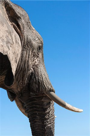 African elephant (Loxodonta africana), Addo Elephant National Park, South Africa, Africa Stock Photo - Rights-Managed, Code: 841-07782280
