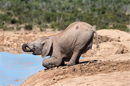 African baby elephant drinking (Loxodonta africana) at Hapoor waterhole, Addo Elephant National Park, Eastern Cape, South Africa, Africa Stock Photo - Rights-Managed, Code: 841-07782282