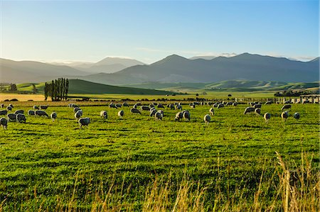 Sheep grazing at sunset, Queenstown, Otago, South Island, New Zealand, Pacific Stock Photo - Rights-Managed, Code: 841-07782798
