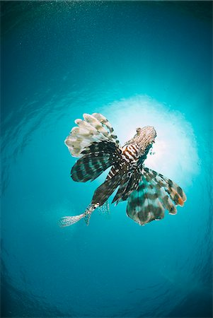 egypt - Common lionfish (Pterois miles) from below, back-lit by the sun, Naama Bay, Sharm El Sheikh, Red Sea, Egypt, North Africa, Africa Stock Photo - Rights-Managed, Code: 841-07783209