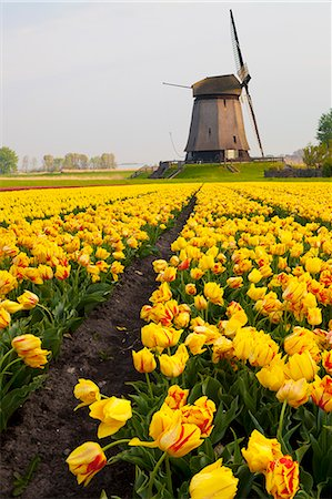 Windmill and tulip field near Schermerhorn, North Holland, Netherlands, Europe Photographie de stock - Rights-Managed, Code: 841-07813741