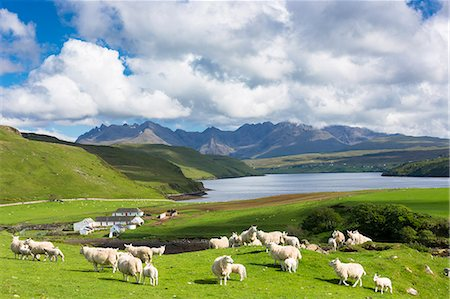 domestic sheep - The Cuillin mountain range with croft farm, sheep and Loch Harport near Coillure, Isle of Skye, Inner Hebrides, Highlands and Islands, Scotland, United Kingdom, Europe Stock Photo - Rights-Managed, Code: 841-07913714