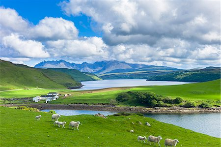 domestic sheep - The Cuillin mountain range with croft farm, sheep and Loch Harport near Coillure, Isle of Skye, Inner Hebrides, Highlands and Islands, Scotland, United Kingdom, Europe Stock Photo - Rights-Managed, Code: 841-07913715