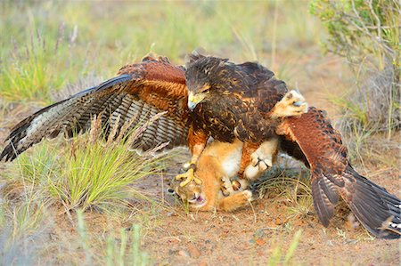 Harris Hawk (Parabuteo unisinctus), hunting a European hare, Patagonia, Argentina, South America Stock Photo - Rights-Managed, Code: 841-07913745