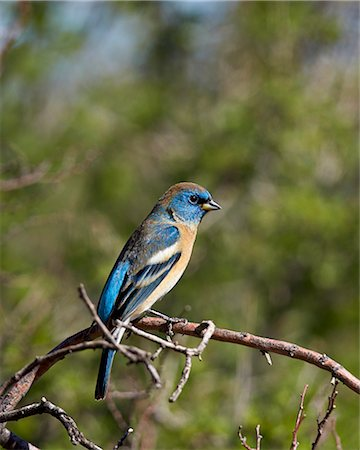 Lazuli bunting (Passerina amoena), male in winter plumage, Chiricahuas, Coronado National Forest, Arizona, United States of America, North America Stock Photo - Rights-Managed, Code: 841-07913849