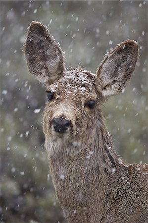 Young mule deer (Odocoileus hemionus) in a snow storm in the Spring, Yellowstone National Park, Wyoming, United States of America, North America Stock Photo - Rights-Managed, Code: 841-07913860