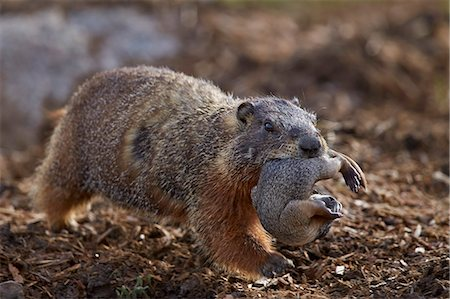 Yellow-bellied marmot (yellowbelly marmot) (Marmota flaviventris) carrying a pup, Yellowstone National Park, Wyoming, United States of America, North America Stock Photo - Rights-Managed, Code: 841-07913862
