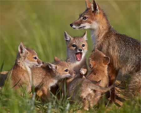 Swift fox (Vulpes velox) vixen and kits, Pawnee National Grassland, Colorado, United States of America, North America Stock Photo - Rights-Managed, Code: 841-08031430