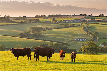North Devon Red Ruby cattle herd grazing in the rolling countryside, Black Dog, Devon, England, United Kingdom, Europe Stock Photo - Rights-Managed, Code: 841-08031455