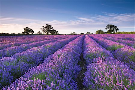 scenic view - Lavender field at dawn, Somerset, England, United Kingdom, Europe Stock Photo - Rights-Managed, Code: 841-08031496