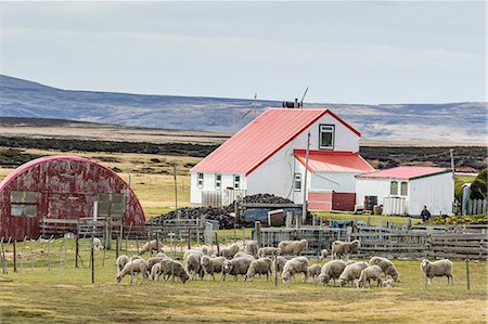 farming (raising livestock) - Sheep waiting to be shorn at Long Island sheep Farms, outside Stanley, Falkland Islands, U.K. Overseas Protectorate, South America Stock Photo - Rights-Managed, Code: 841-08059381