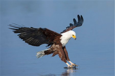 African fish eagle (Haliaeetus vocifer) fishing, Chobe National Park, Botswana, Africa Stock Photo - Rights-Managed, Code: 841-08059444