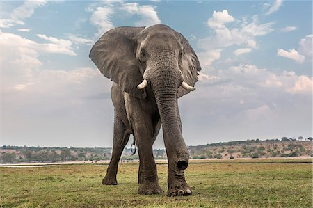 African elephant (Loxodonta africana), Chobe National Park, Botswana, Africa Stock Photo - Rights-Managed, Code: 841-08059454