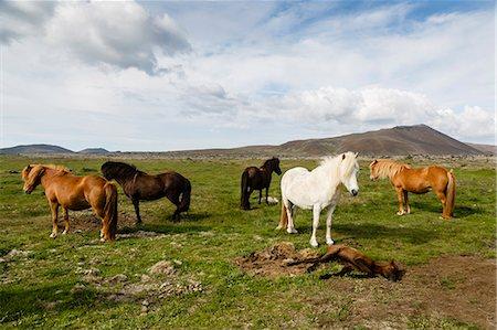Wild horses, Reykjanes Peninsula, Iceland, Polar Regions Stock Photo - Rights-Managed, Code: 841-08059526